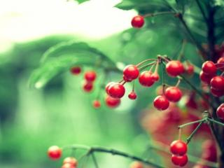 обои Красные ягоды фото
