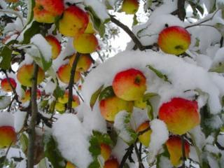 обои Яблоки в снегу фото