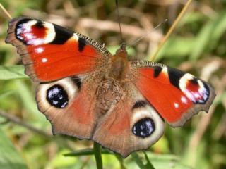 обои Бабочка с тигром фото