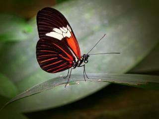 обои Тёмно-красная бабочка фото