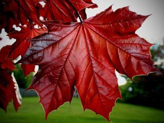 обои Красные кленовые листья фото