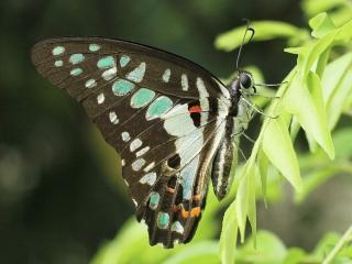 обои Бабочка с зелёными кляксами фото