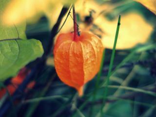 обои Оранжевый плод около листьев фото