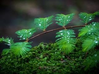обои Капельки дождя на листиках хвои фото