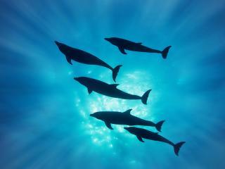 обои Силуэты дельфинов в воде фото