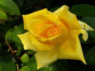 обои Острые лепестки жёлтой розы фото