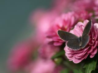 обои Мотыль на красивом розовом цветении фото