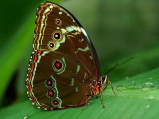 обои Бабочка Павлин фото