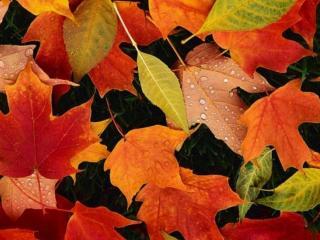 обои Листья жгут как прощальный салют фото