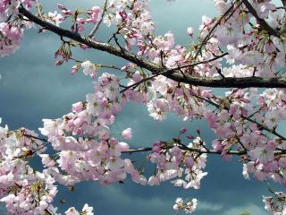 обои Цветущие весенние ветви дерева фото