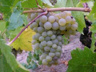 обои Спелый сладкий виноград фото
