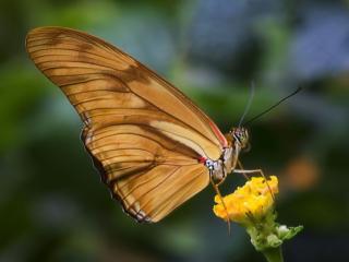 обои Светло-коричневая бабочка фото