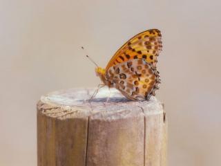 обои Бабочка на брёвнышке фото