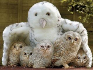 обои Полярная сова с совятами фото