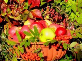 обои Спелые яблочки и рябина фото