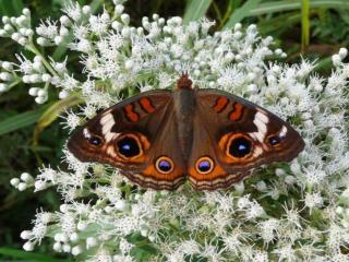 обои Красивая бабочка на белых цветочках фото