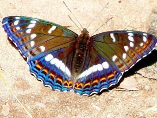 обои Многоцветная бабочка на песке фото