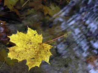 обои Жёлтый лист на воде фото