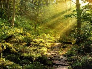 обои Каменистая тропинка в лесу с папоротником фото