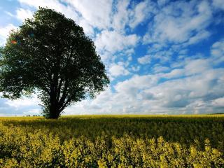 обои Летнее дерево на поле рапса фото
