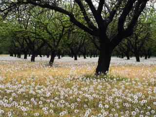 обои Пушистые одуванчики под весенними деревьями фото