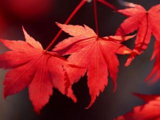 обои Три красных осенних листка фото