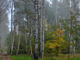 обои Берёзовый лес на рассвете фото