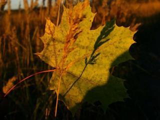 обои Кленовый лист в осенней траве фото