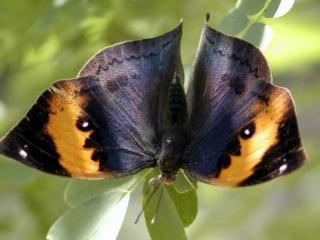обои Тёмная бабочка с жёлтым узором фото