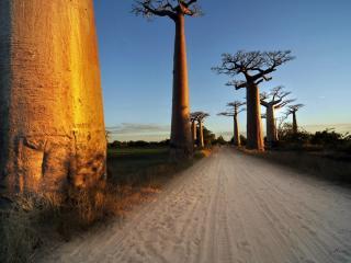 обои Толстые деревья в пустыне, дорога фото