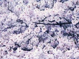 обои Густой цвет весенних ветвей дерева фото