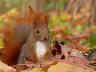 обои Белочка в осенней листве фото