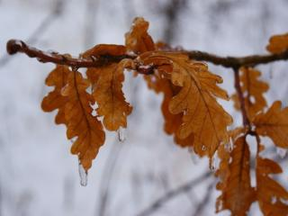 обои Дубовые листья в замёрзших каплях фото