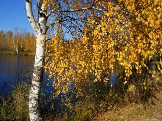 обои Осенние берёзы у пруда фото