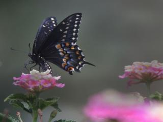 обои Тёмно-синяя бабочка на розовом цветке фото