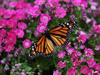 обои Бабочка среди цветов фото