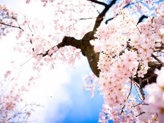 обои Цветущее весеннее, вишнёвое дерево фото