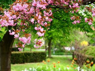 обои Цветущее дерево в парке фото