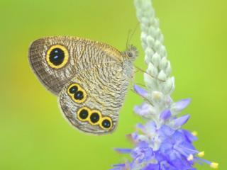 обои Бабочка на голубом цветке фото