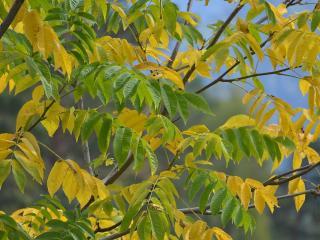 обои Осень. Маньчжурский орех фото