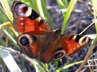 обои Бабочка Павлиний глаз фото