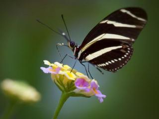 обои Чёрно-белая бабочка фото