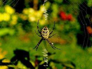 обои Аргиопа Брюнниха,   или паук-оса фото