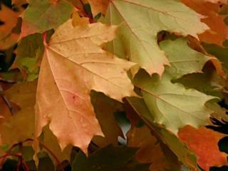 обои Красивые листья у осени фото