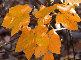обои Жёлтые листья смородины фото