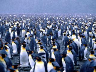 обои Королевские пингвины фото