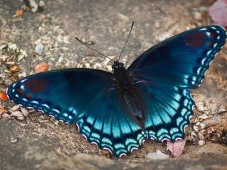 обои Тёмно-синяя бабочка фото
