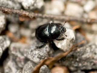 обои Черный жук на камне фото