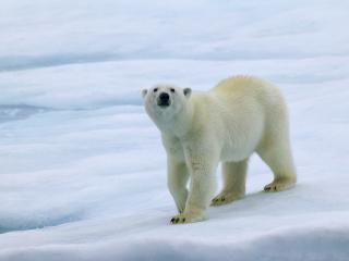 обои Большой белый северный медведь фото