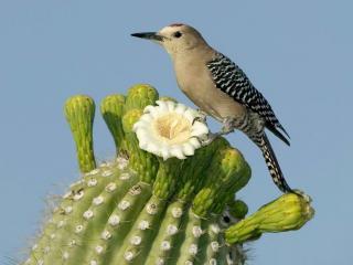 обои Птица сидит на кактусе фото